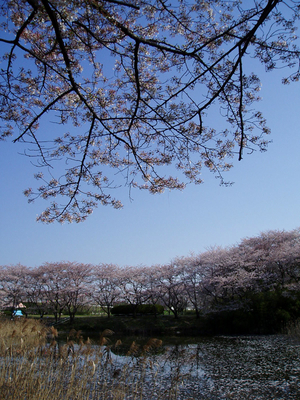 akigase-sakura01
