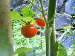 ミニトマト収穫!
