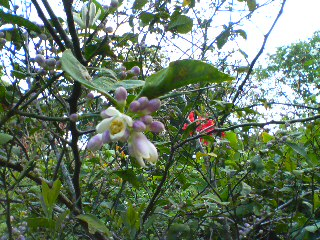 島のレモンの花