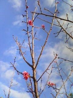 サクラ開花