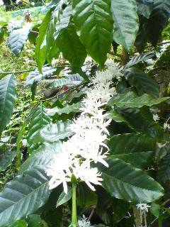 コーヒーの花